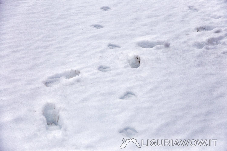 Incrociando le impronte del lupo