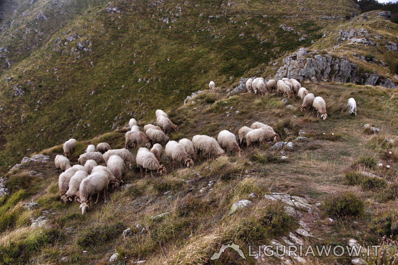 Pecore Brigasche al Sotto di San Lorenzo