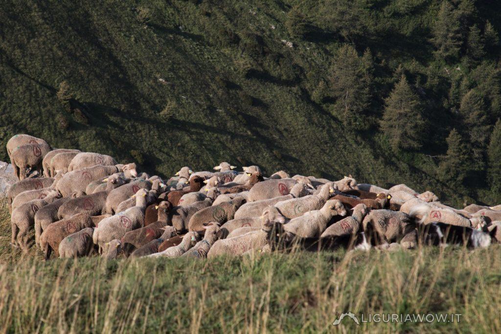Gregge di pecore Brigasche